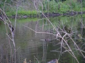 beaver swims in pond 7 22