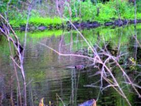 beaver swimming w/photo highlights
