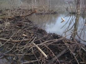 beaver dam July 8 2010