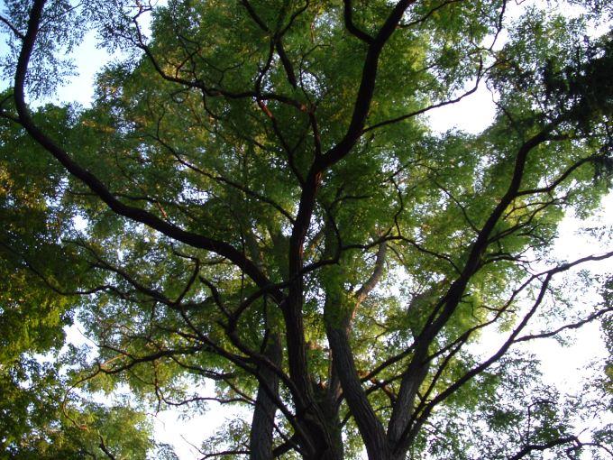 Tree tops in summer