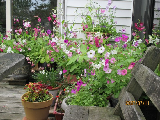 Petunias from seed