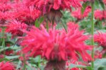 bee balm unedited