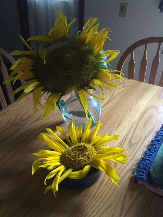 Sunflower blooms as September ends the summer saved from chipmunk teeth.