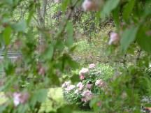 beauty bush and tree peonies