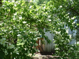 mock orange by the kitchen