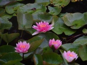 waterlillies