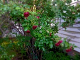 this old fashioned rose bush use to be near our kitchen