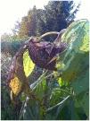 a tired sunflower